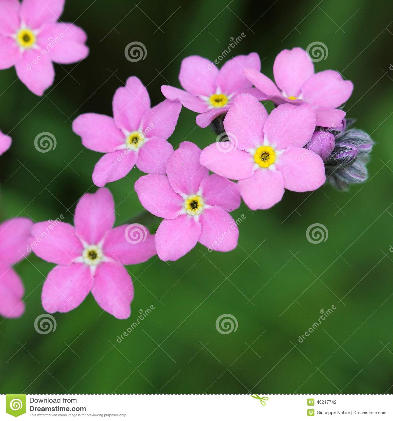 Forget Me Not Stock Photo Image Of Grow Abstract Blooming 46217742