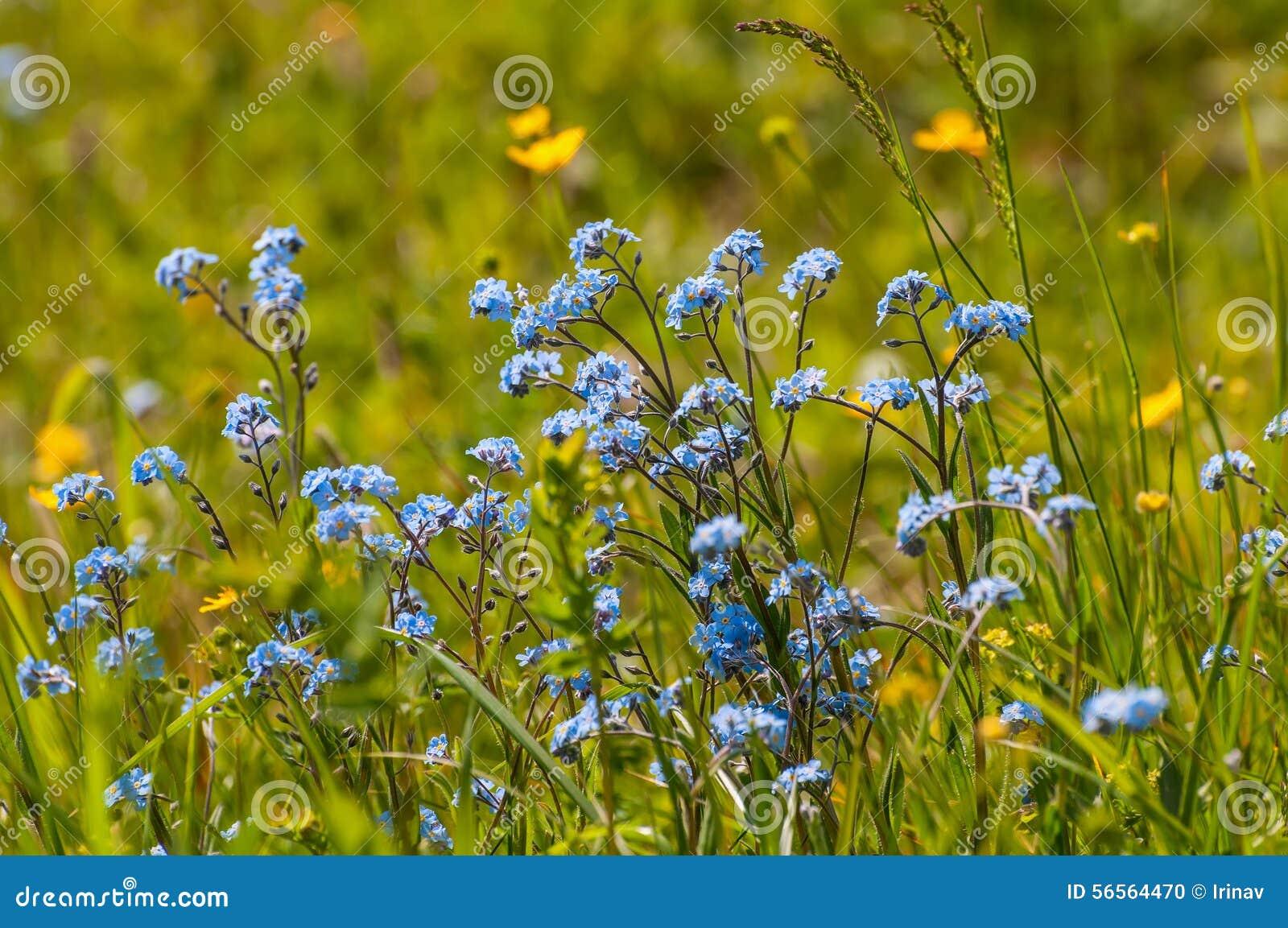 Download Forget-me-nots λιβάδι λουλουδιών Στοκ Εικόνες - εικόνα από χλωρίδα, λιβάδι: 56564470