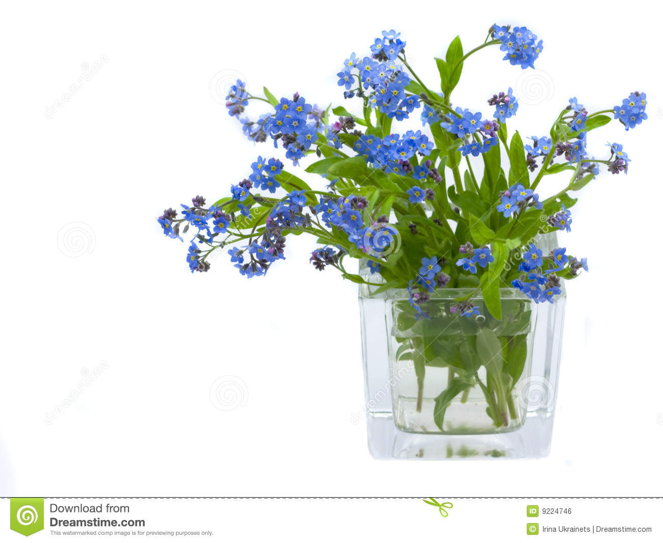 Forget Me Nots Stock Photo Image Of Outdoors Flower