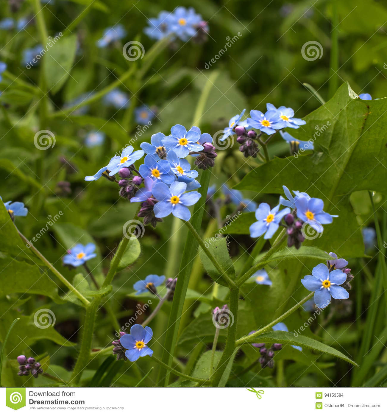 Forget Me Nots Are Small Wildflowers Of Blue Color The Center Of