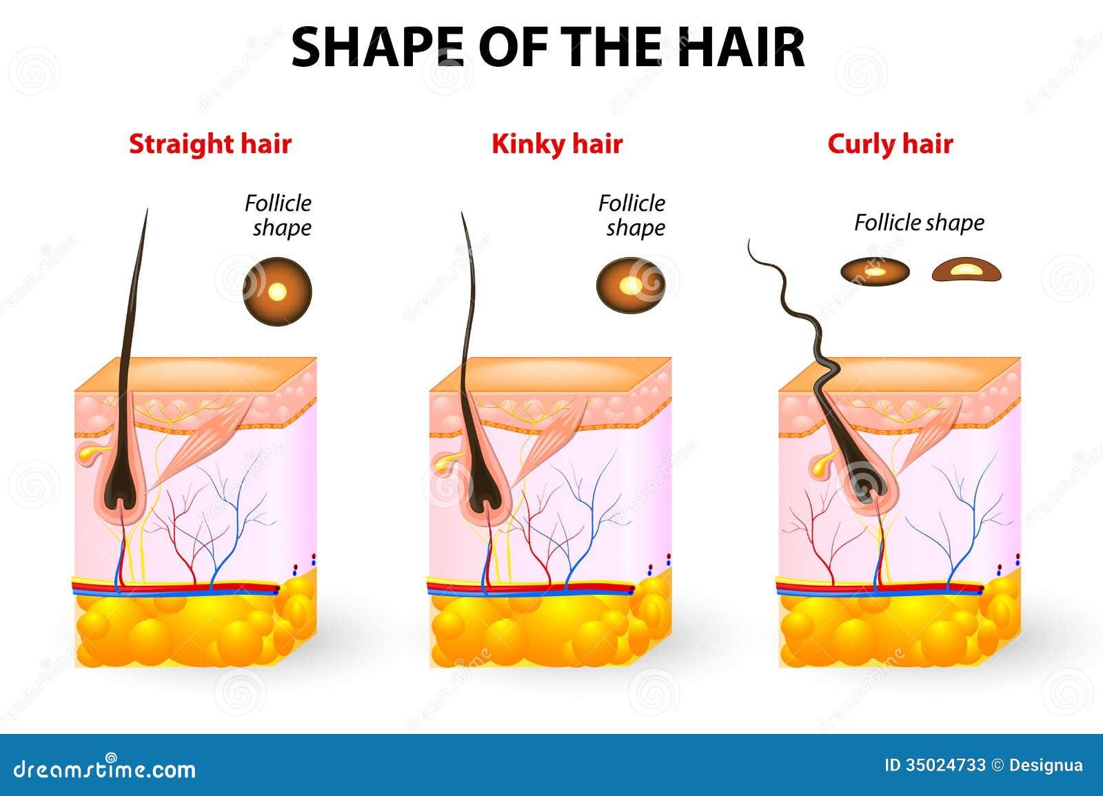 Forma del pelo y de la anatomía del pelo