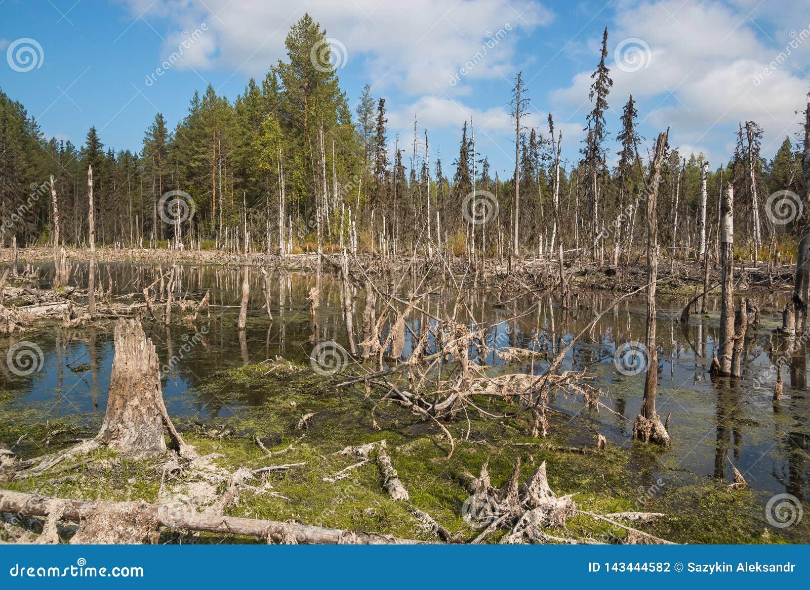 Formacja bagna mesotrophic W klimatycznej strefy tajdze, tundra Arkhangelsk region