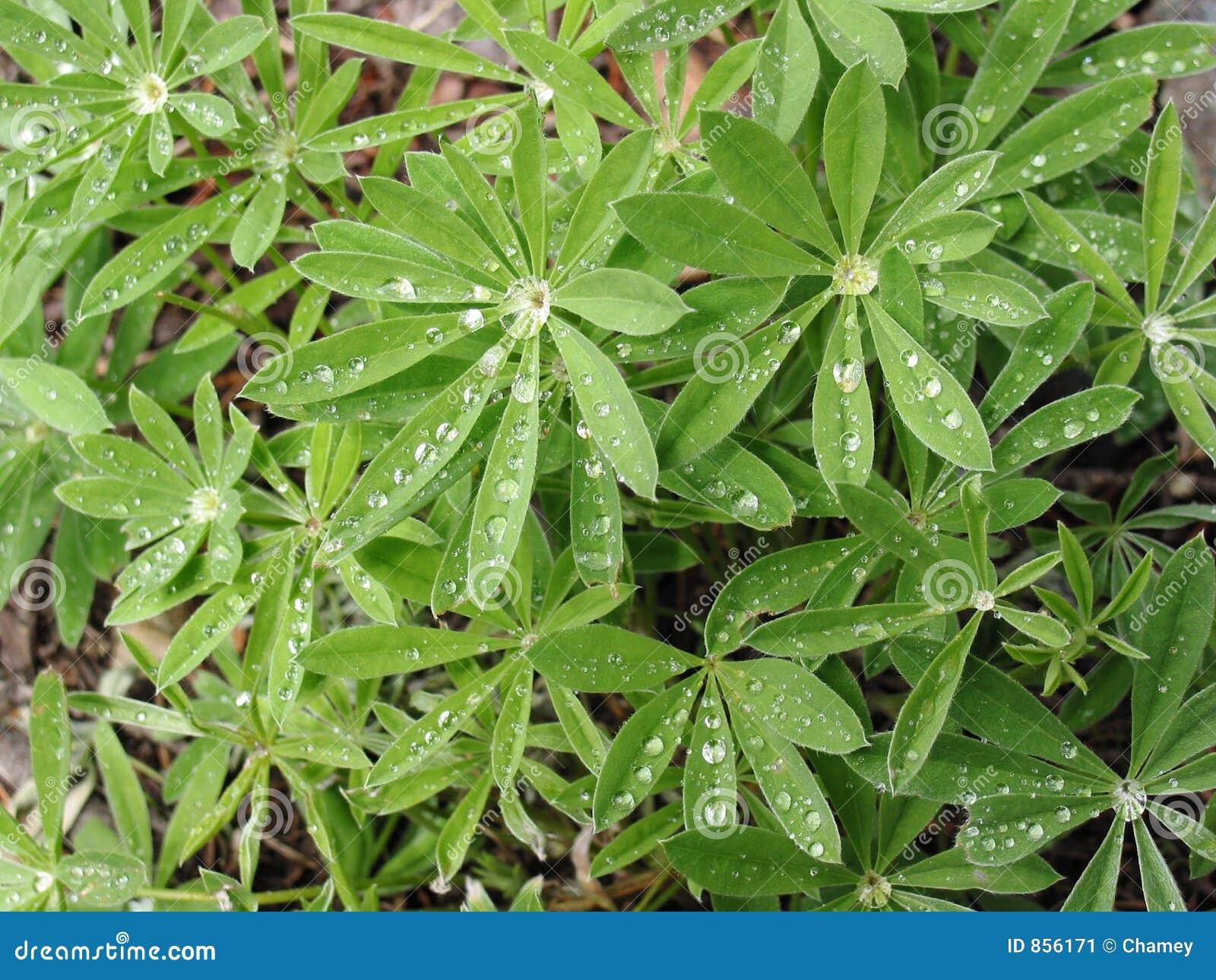Formas de folha do Lupine
