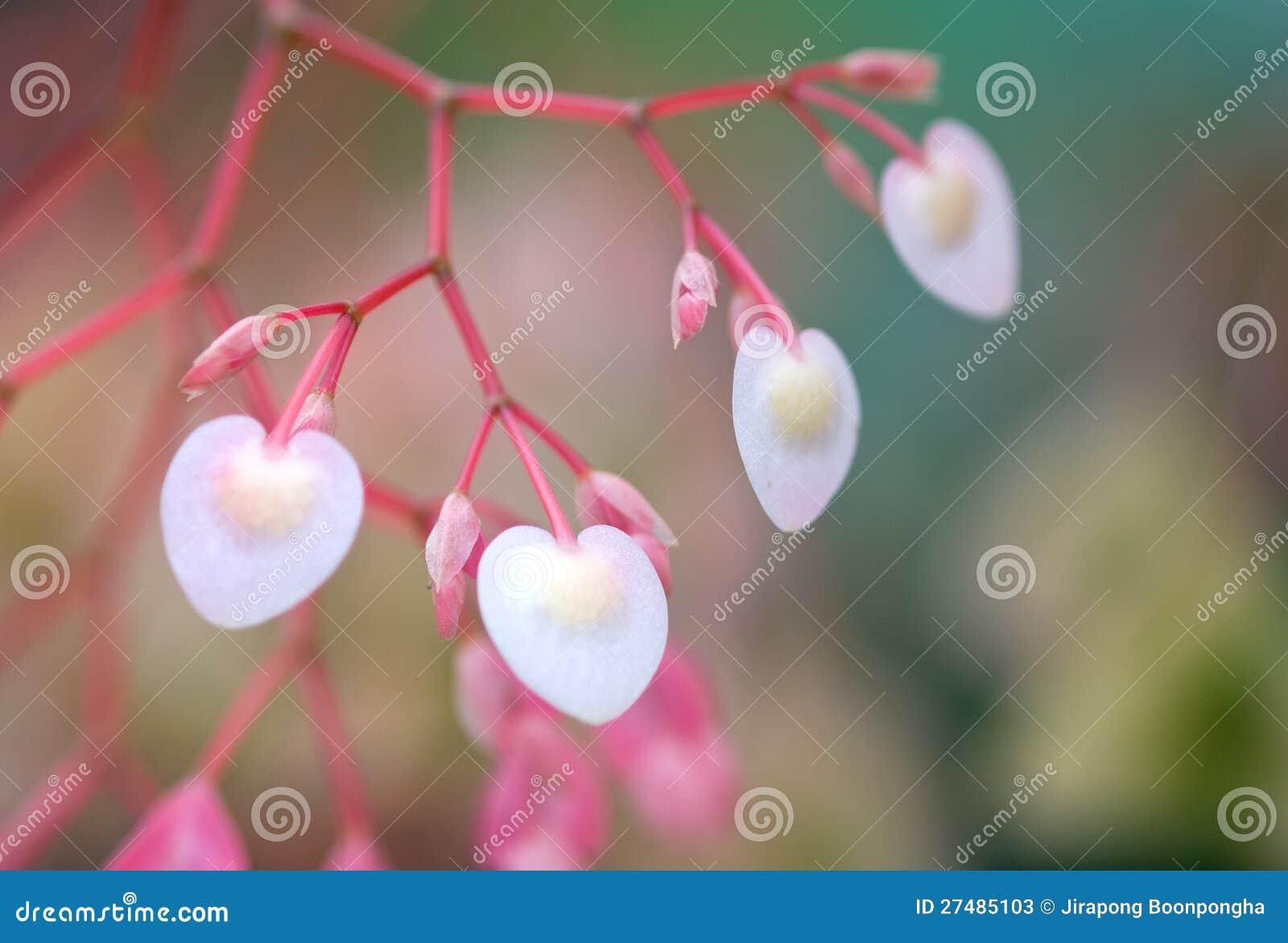 Forme De Coeur Et Fleur Rose Douce De Begonia De Couleur Image Stock