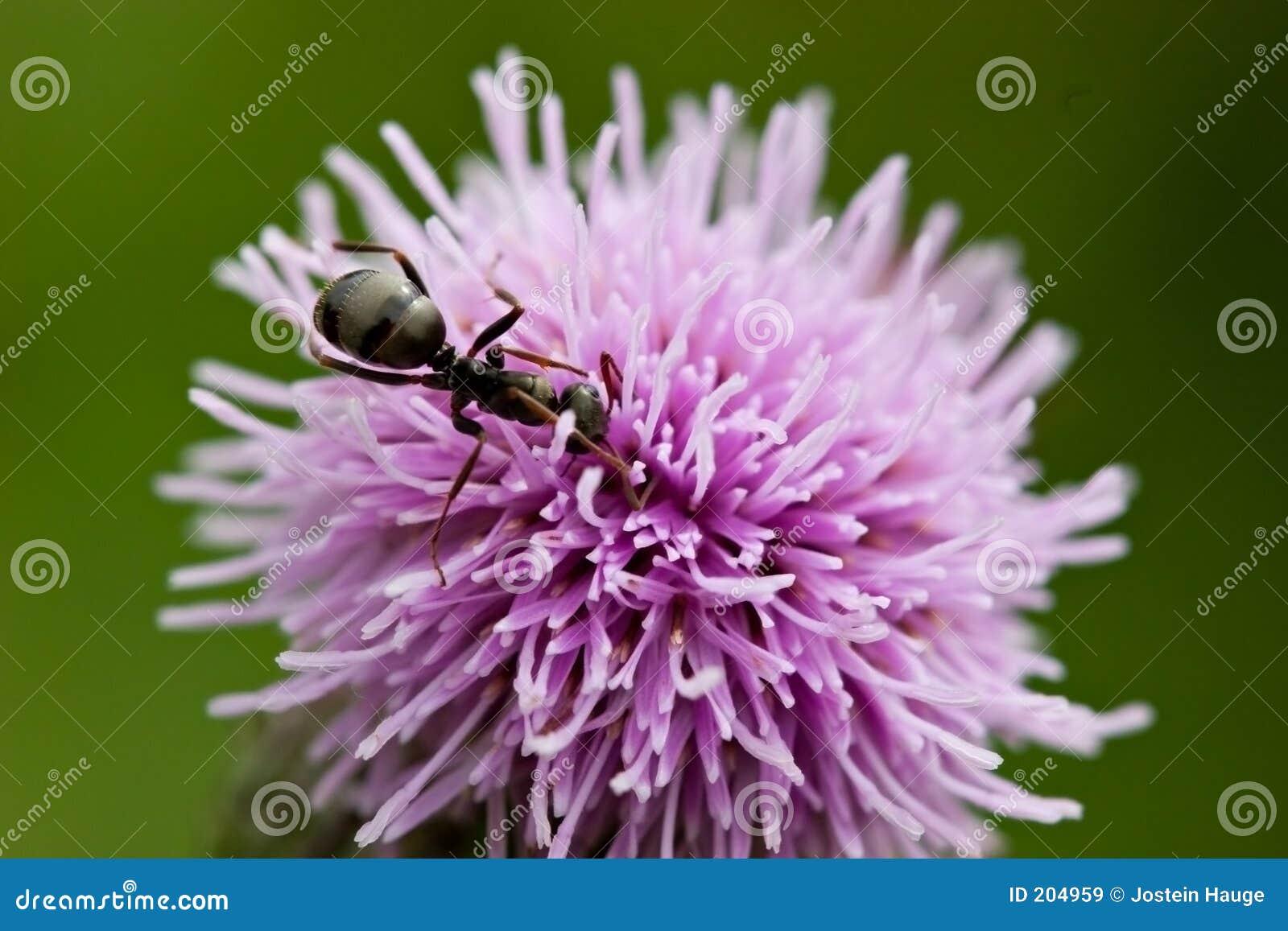 Formica sul cardo selvatico