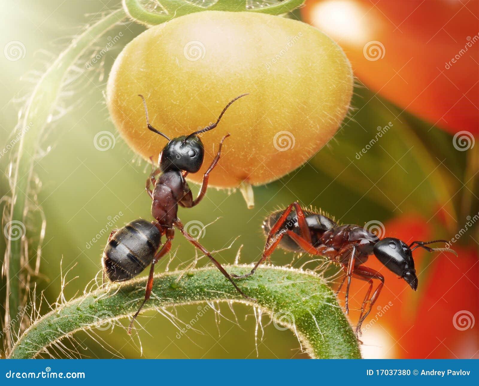Formiche che controllano i pomodori in lampadina - Formiche in cucina ...