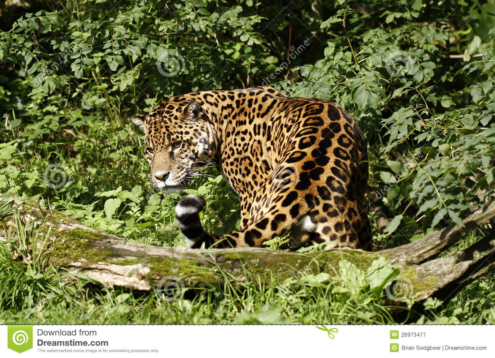 Formidabel jaguar