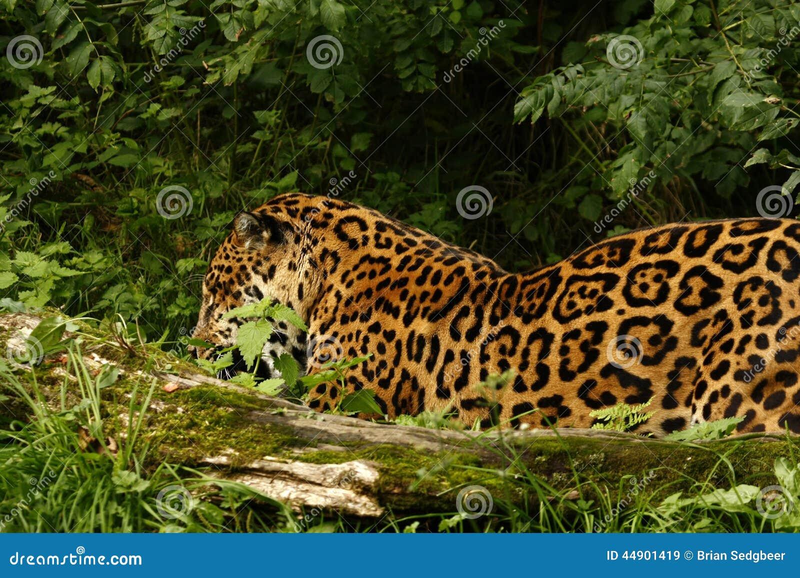 Formidabele Jaguar