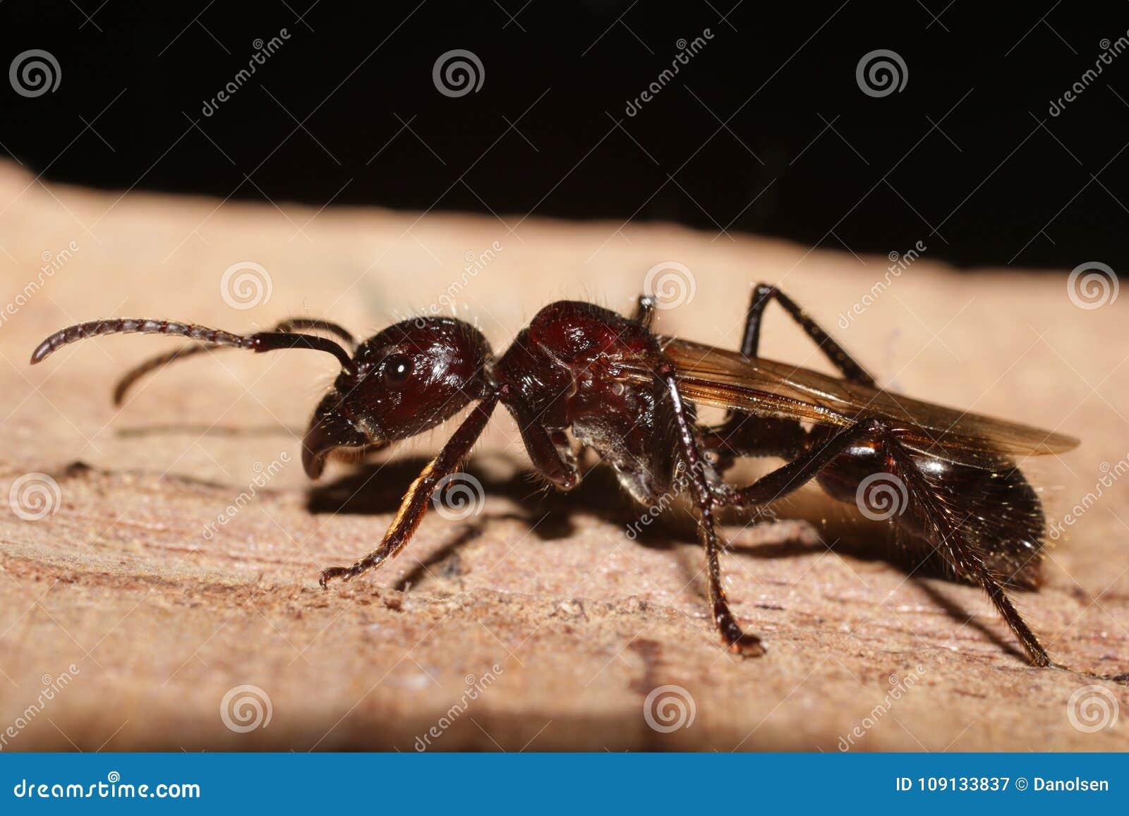 Formiga da bala, inseto real do assassino com picada extremamente poderoso