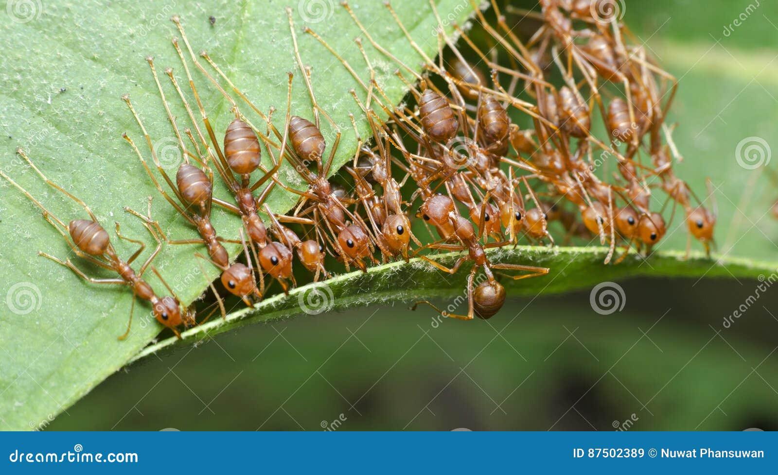 Formiga, formiga vermelha