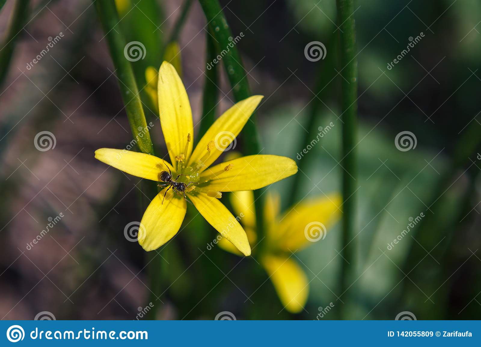 Formiga preta em plantas amarelas de Nothoscordum da flor no tribo da cebola dentro da família de Amaryllis