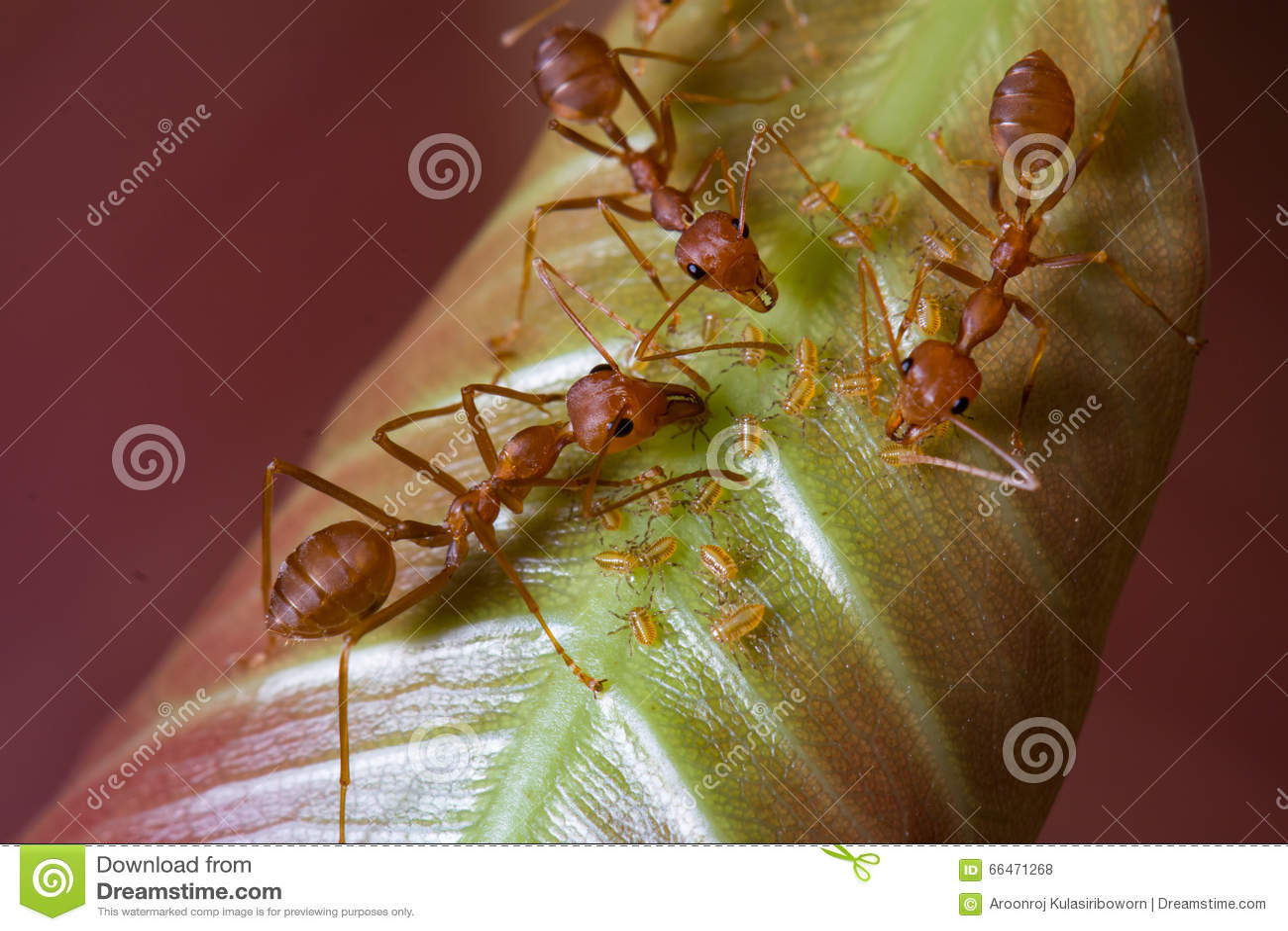 Formigas e afídios vermelhos na folha
