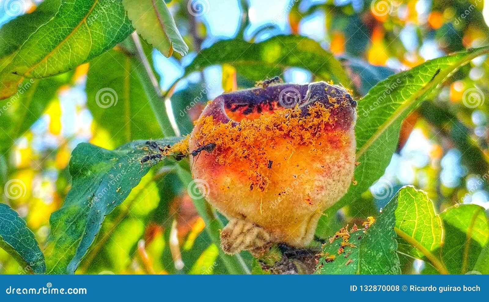 Formigas e pêssego 7