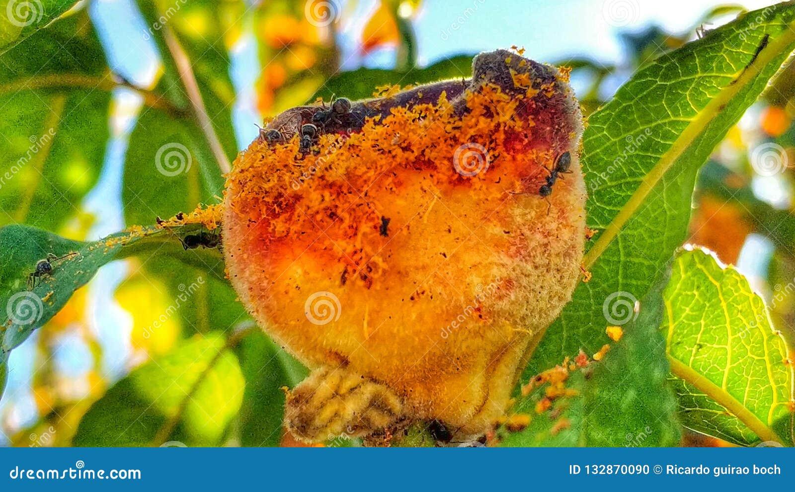 Formigas e pêssego 4