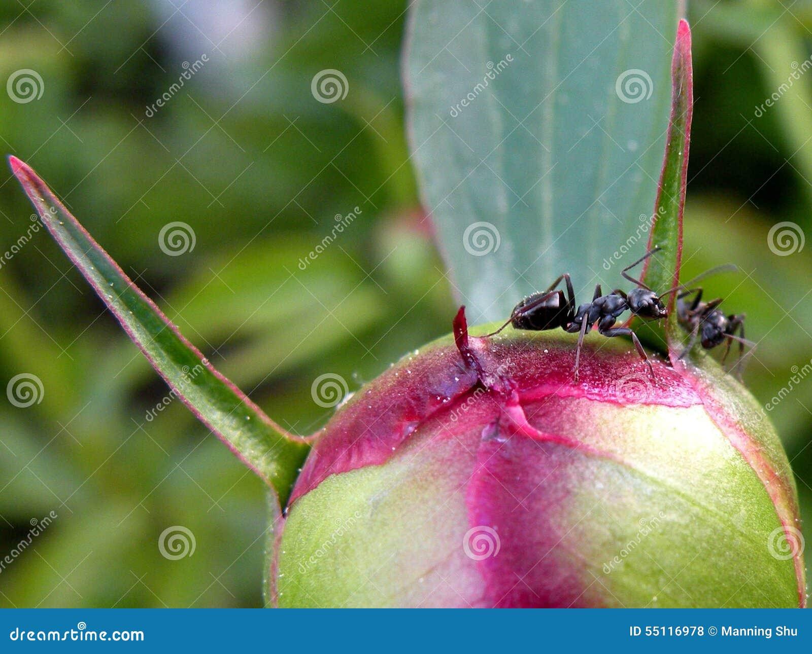 Formigas no botão da peônia