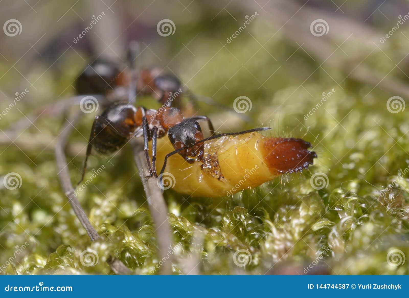 Formigas que puxam uma larva que rói o
