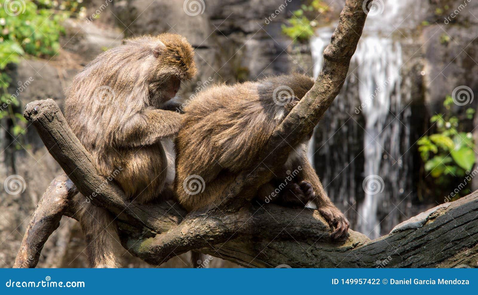 Formosan συνεδρίαση βράχου δύο macaque στο δέντρο και καλλωπισμός με έναν καταρράκτη