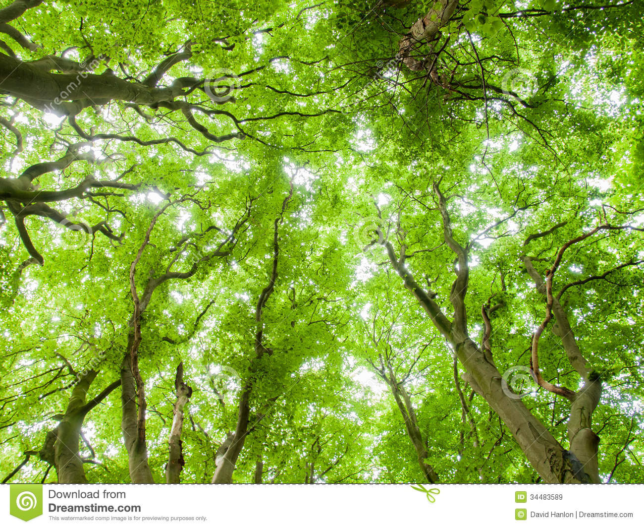 Forrest canopy royalty free stock images image 34483589 for Canopy of trees