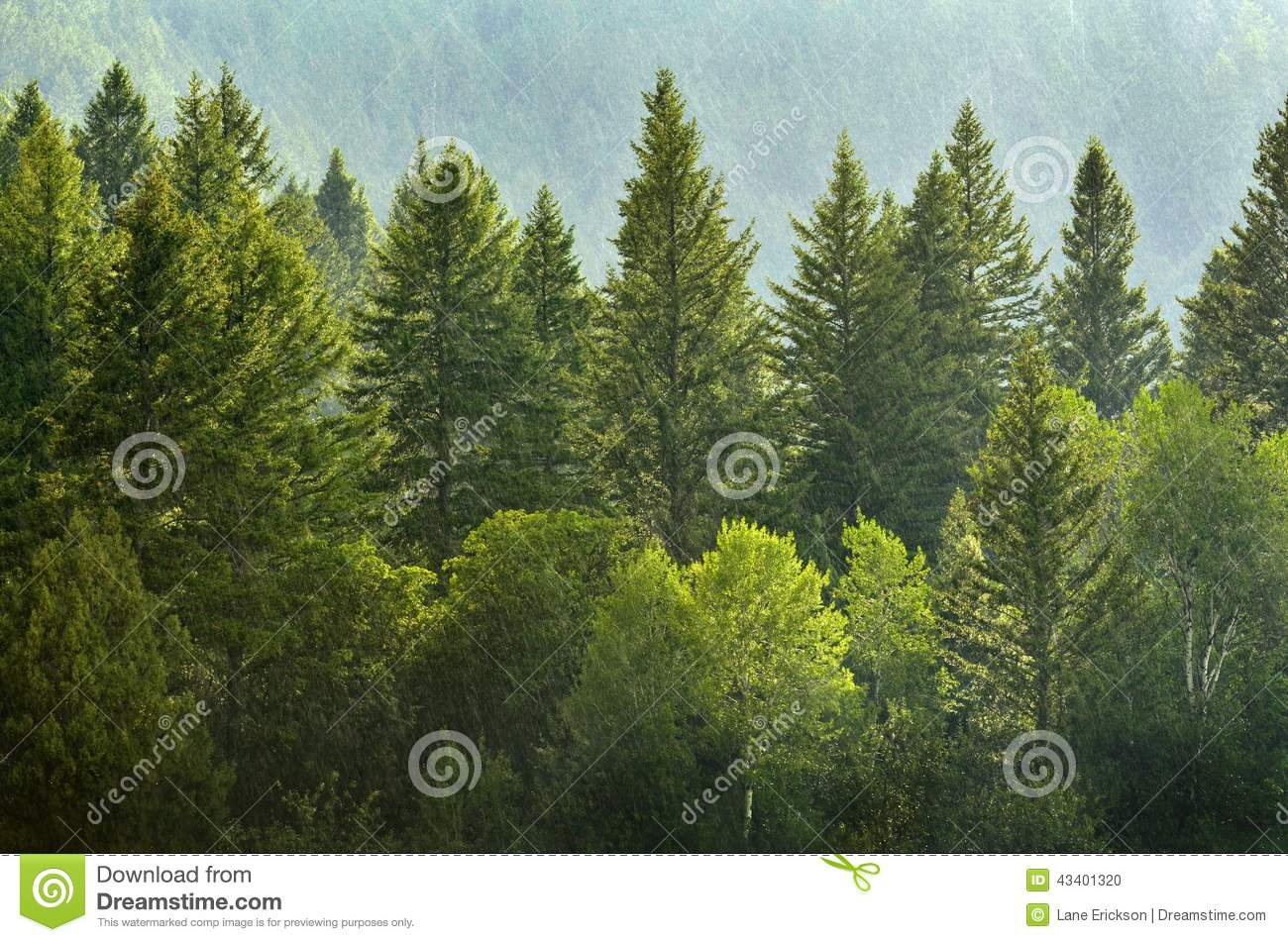 Forrest of Pine Trees in Rain
