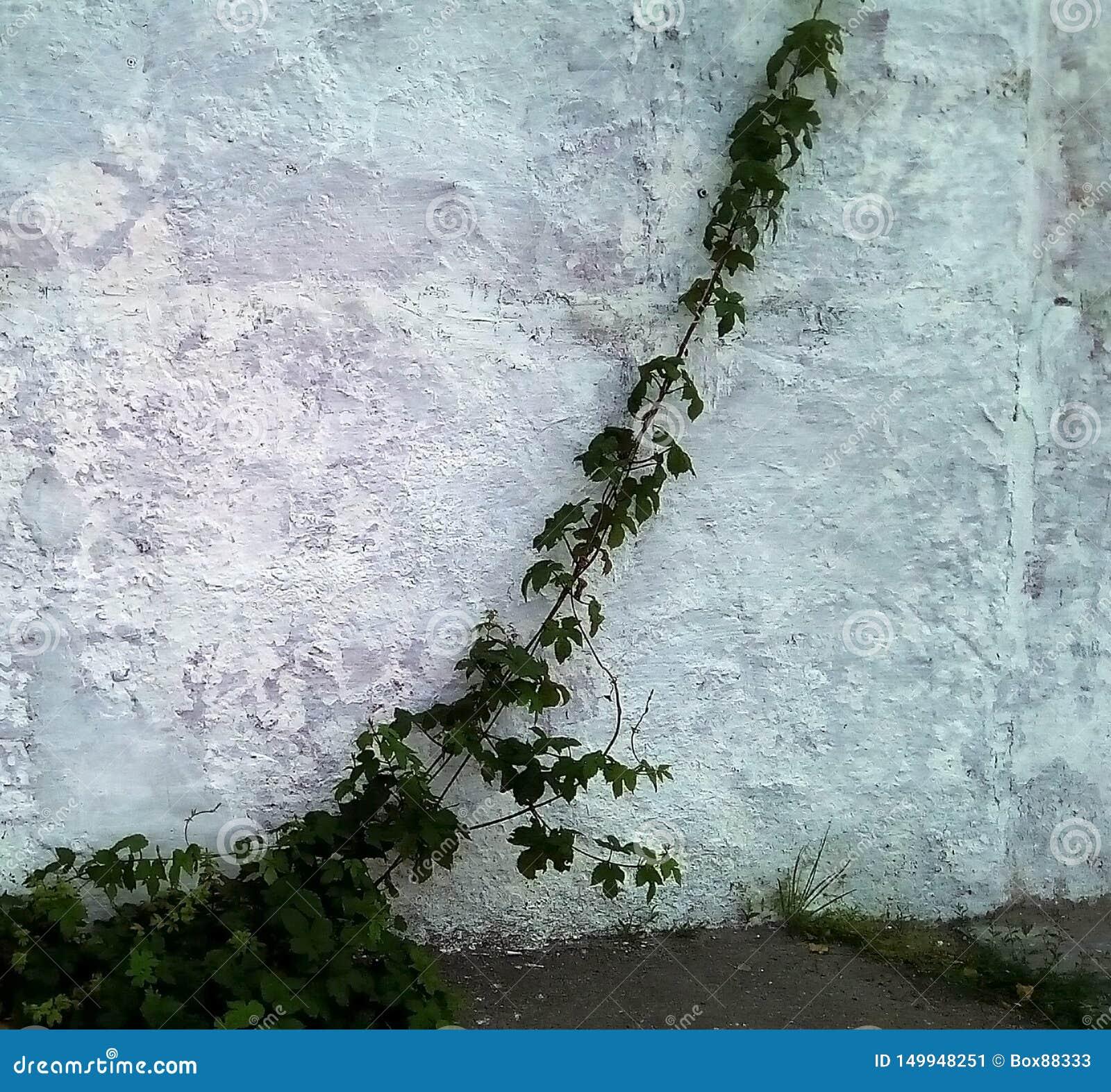 Forsar av lösa druvor mot en ljus målad vägg