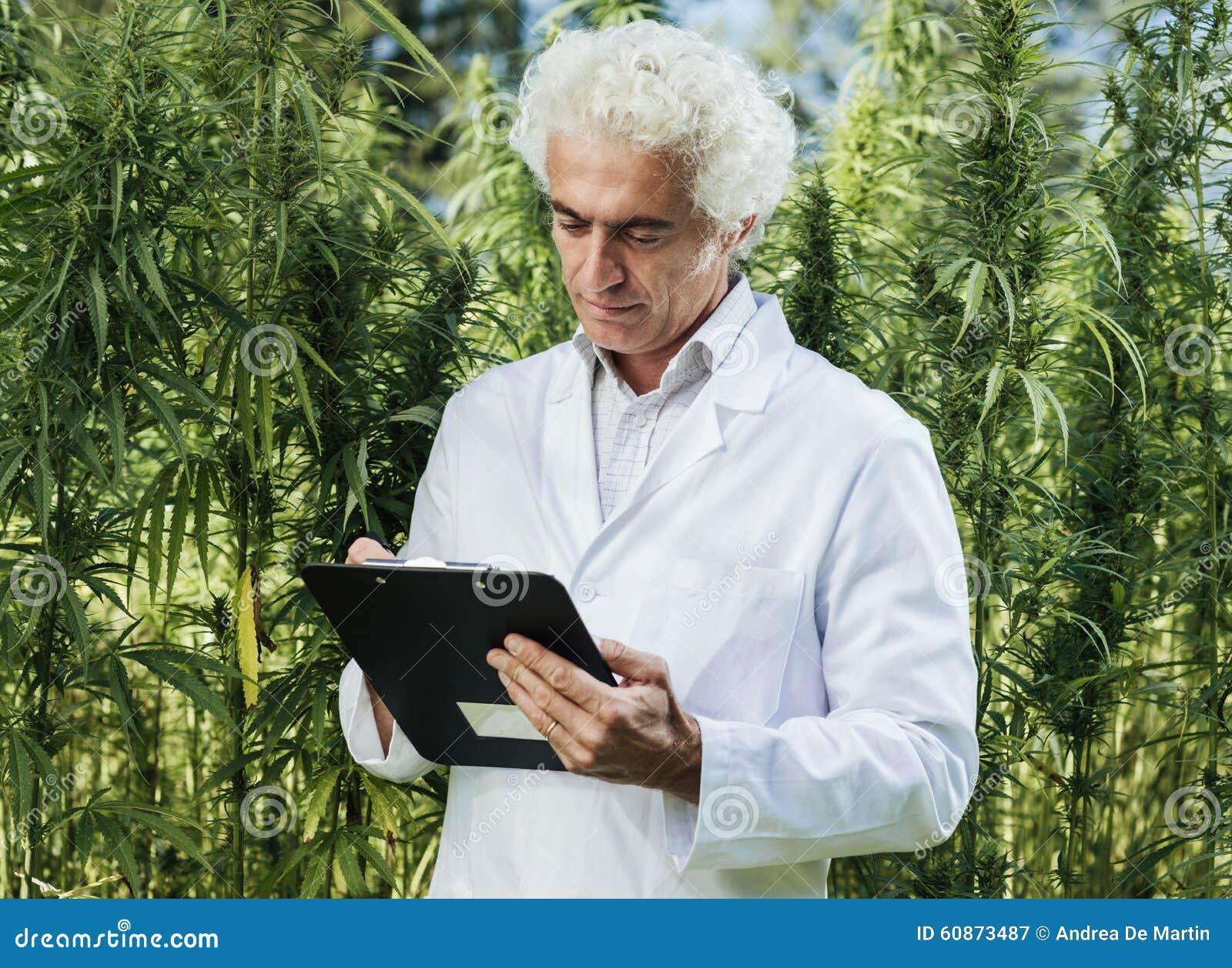 Forskare som kontrollerar hampaväxter