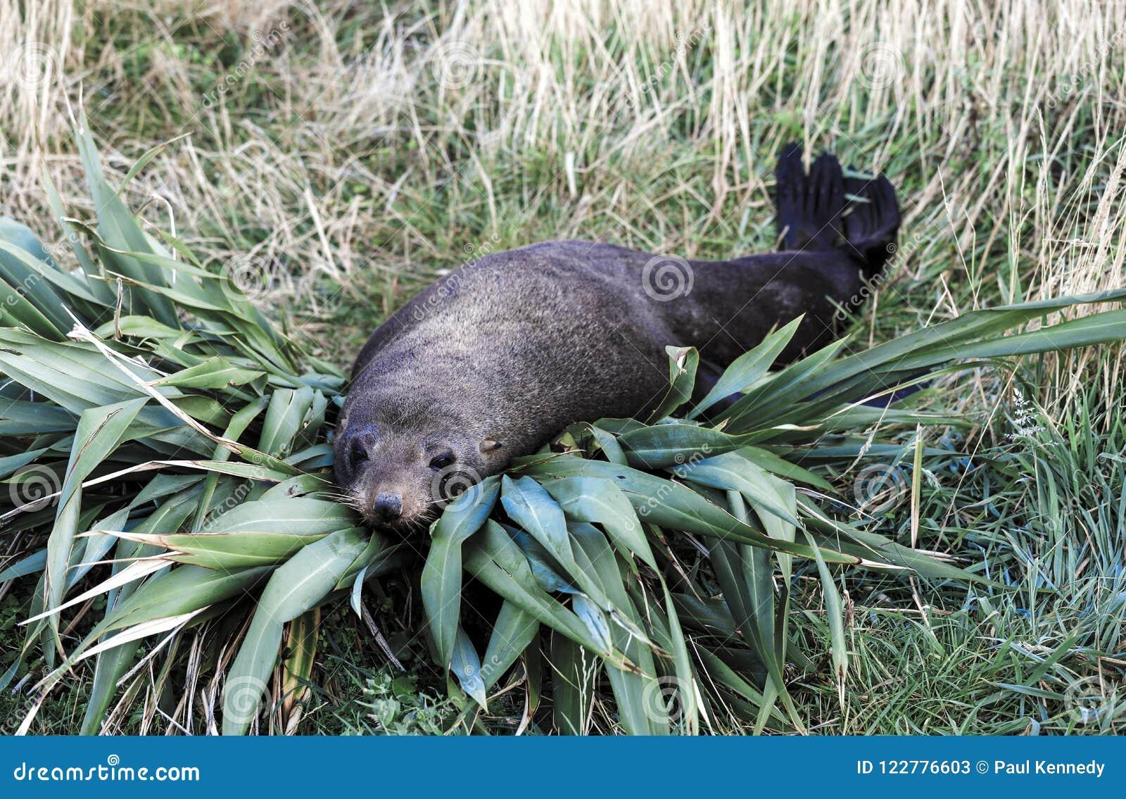 Forsteri котика морского котика Новой Зеландии отдыхая на кусте льна