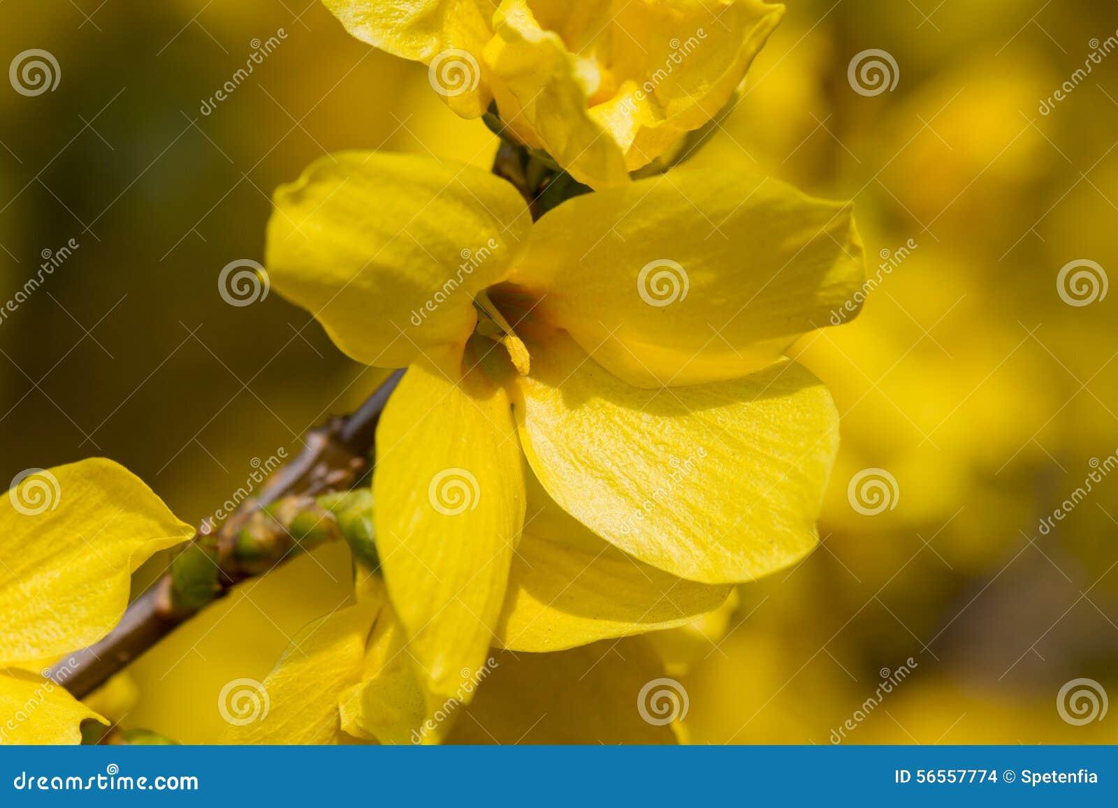 Download Forsythia στον κήπο στοκ εικόνες. εικόνα από ανθίζοντας - 56557774