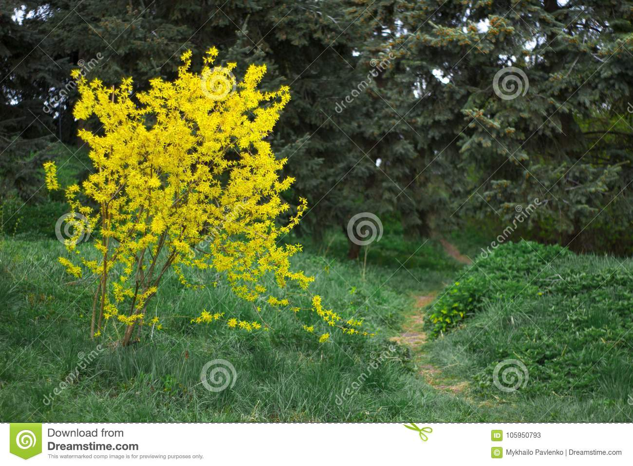 Forsythia flower bush blooming in early spring stock image image forsythia flower bush blooming in early spring mightylinksfo
