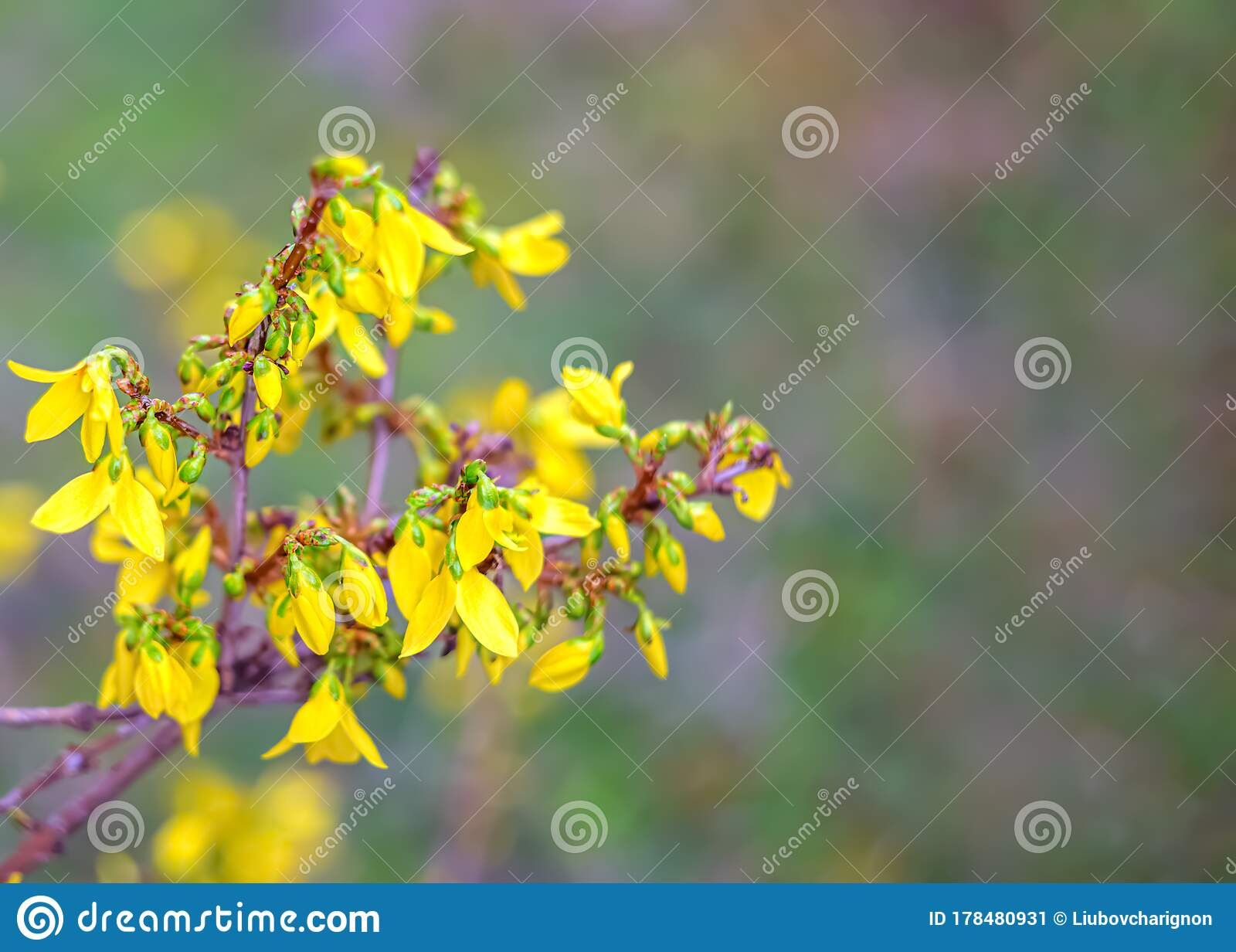 Forsythia Flowers In A Spring Day Nature Wallpaper Blurred Background With Yellow Florets In Springtime Stock Image Image Of Blooming Flower 178480931