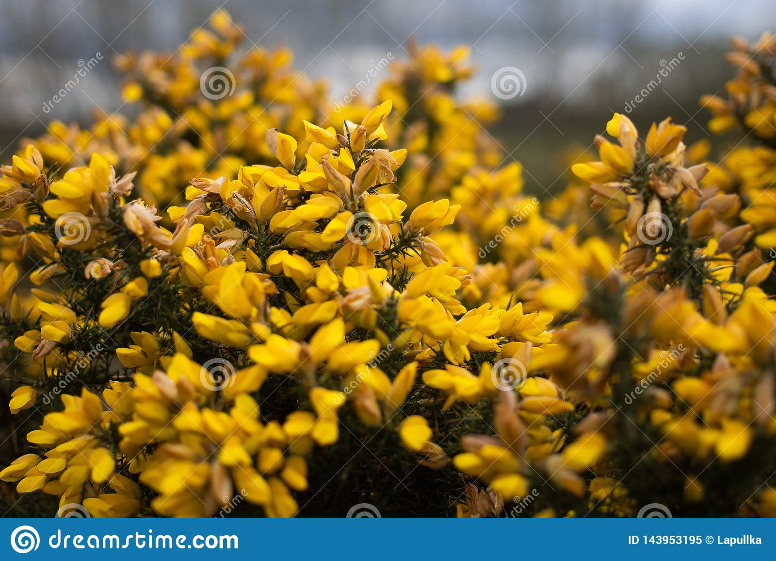 Forsythia plant blossom in Birmingham`s park