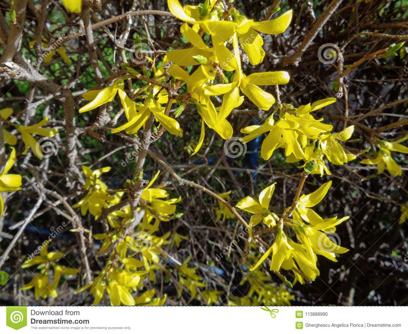 Bright Forsythia Flowers In Spring Bushes Stock Photo Image Of