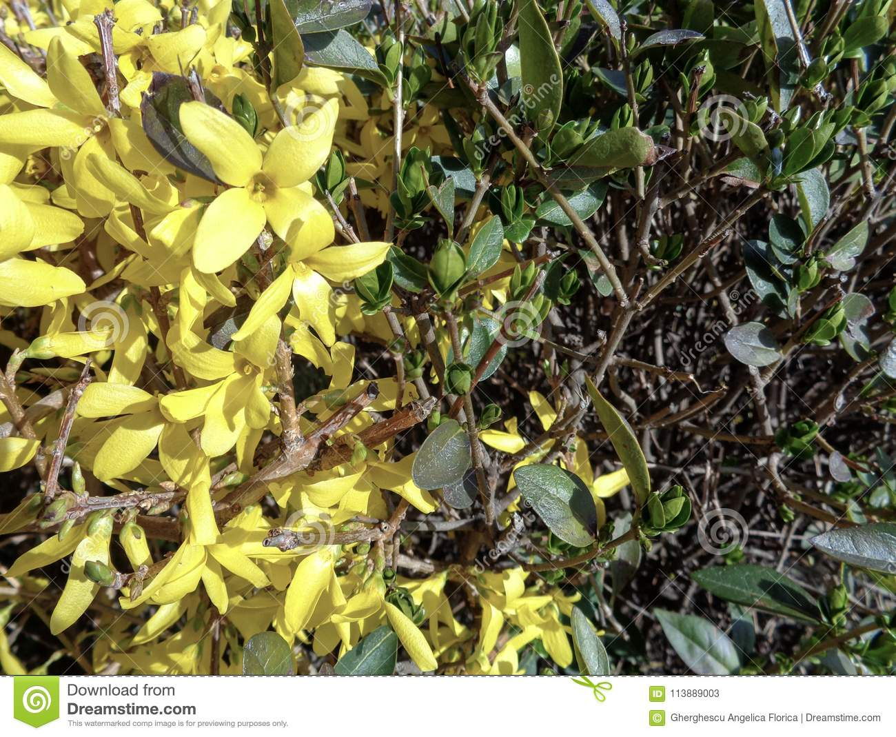 Bright Forsythia Flowers In Spring Bushes Stock Image Image Of