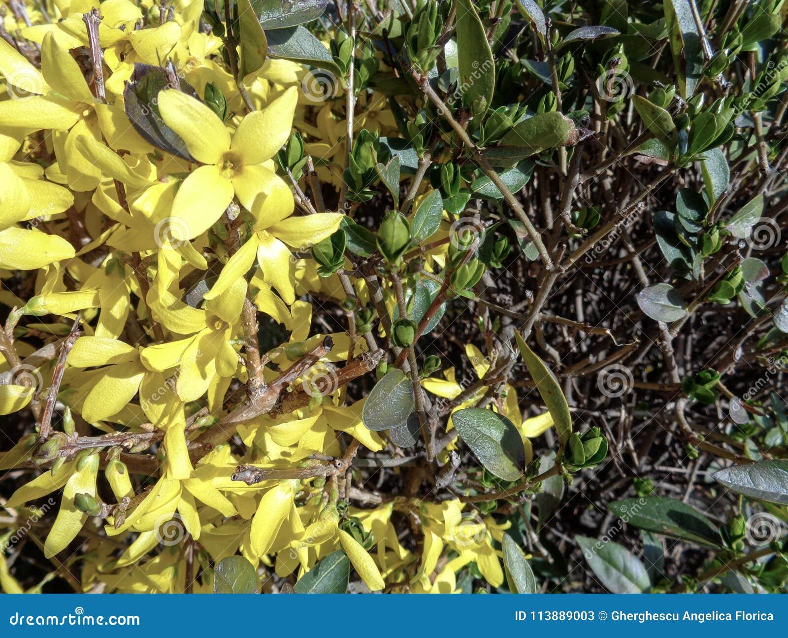 Bright forsythia flowers in spring bushes stock image image of bright forsythia flowers in spring bushes mightylinksfo