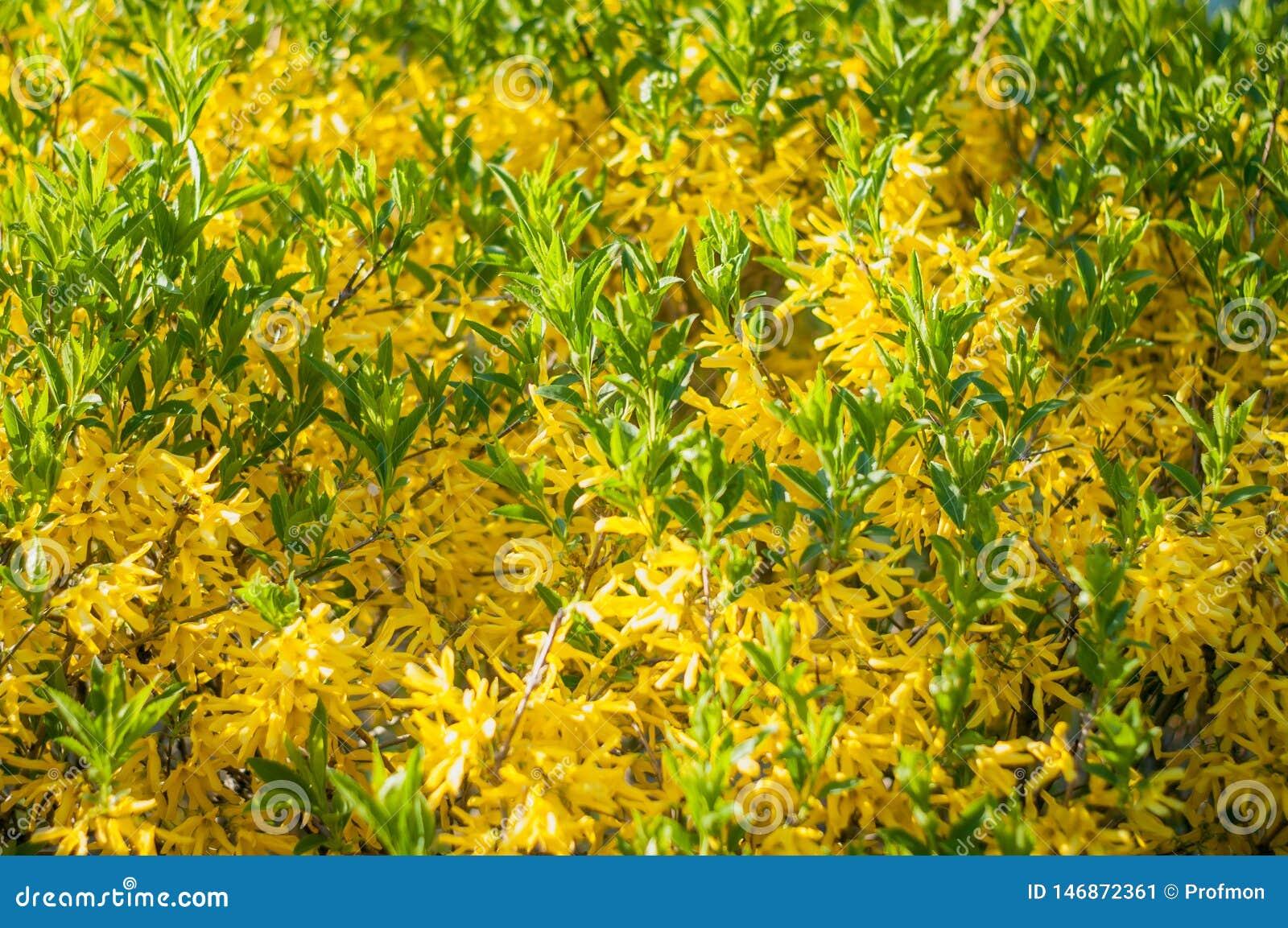 Forsythia Low Shrub Having Bright Yellow Flowers In Spring Stock