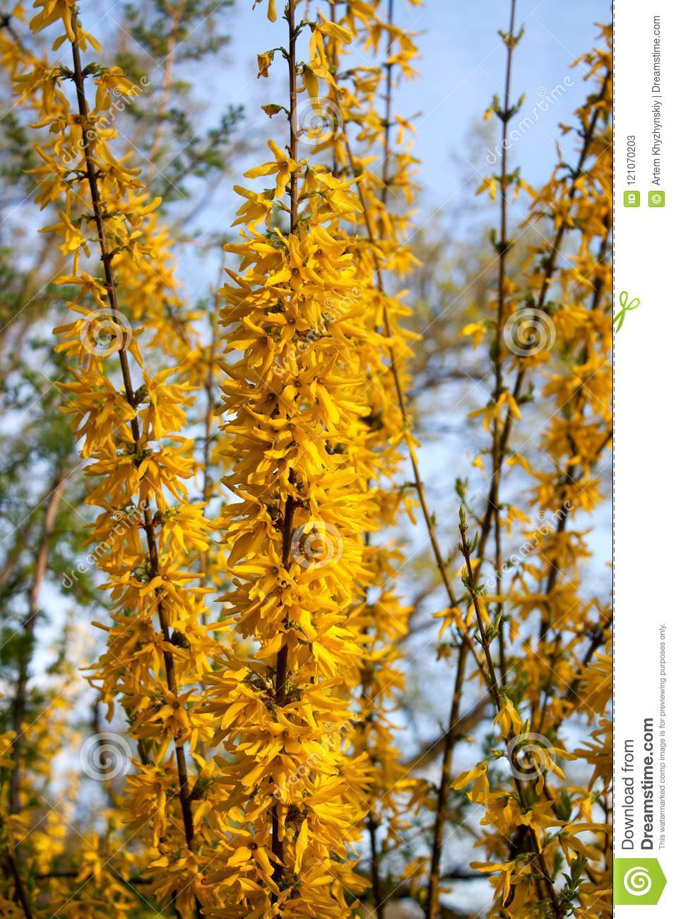 Forsythia Shrub With Bright Yellow Flowers Stock Image Image Of