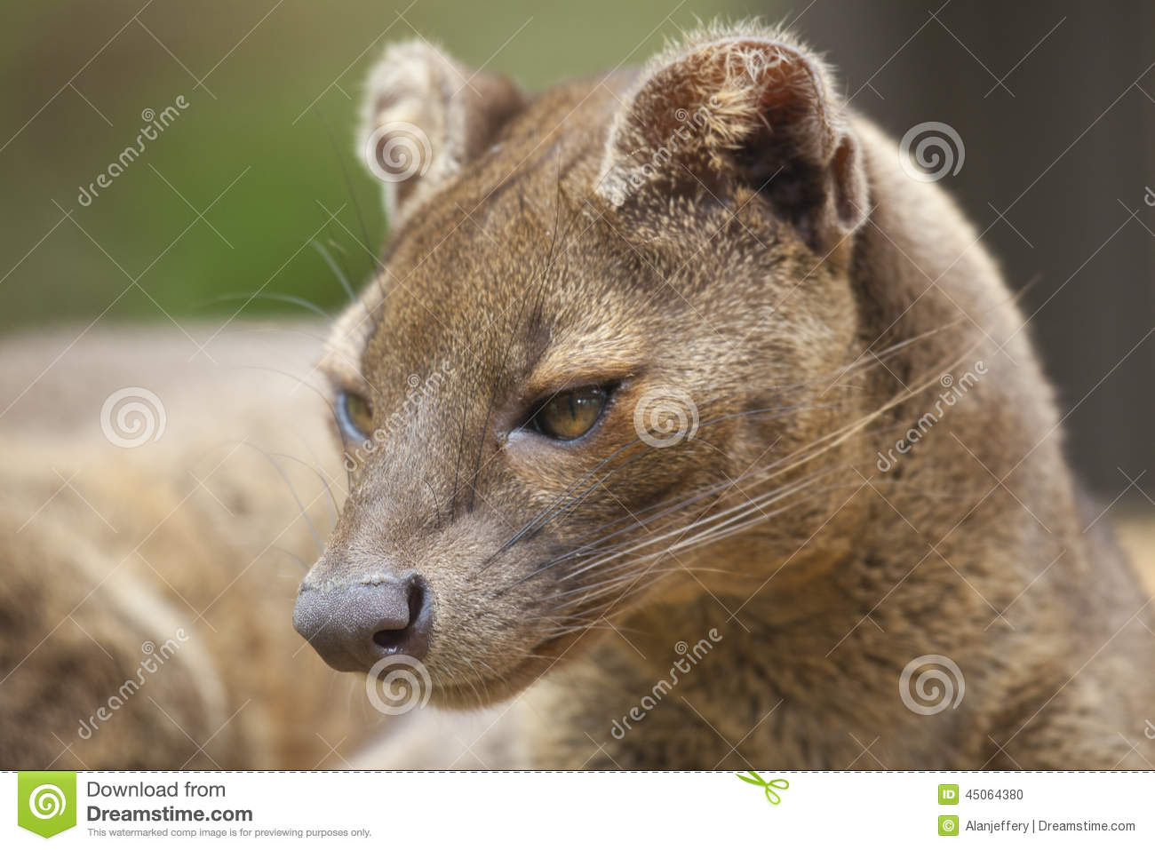 fossa stock photo image of cryptoprocta wildlife ferox 45064380