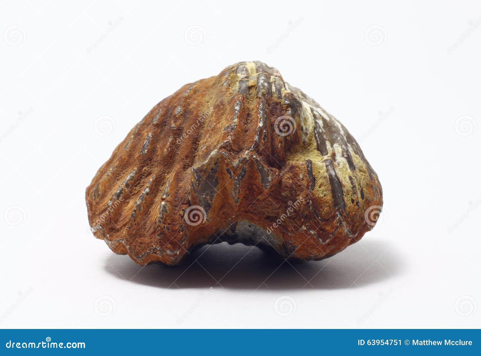 Fossiel brachiopod
