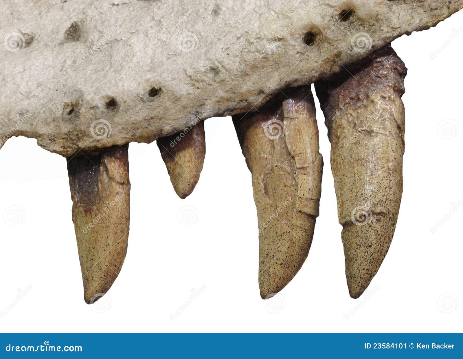 http://thumbs.dreamstime.com/z/fossiel-tanden-en-kaakbeen-van-ge\u00efsoleerde-dinosaurus-23584101.jpg