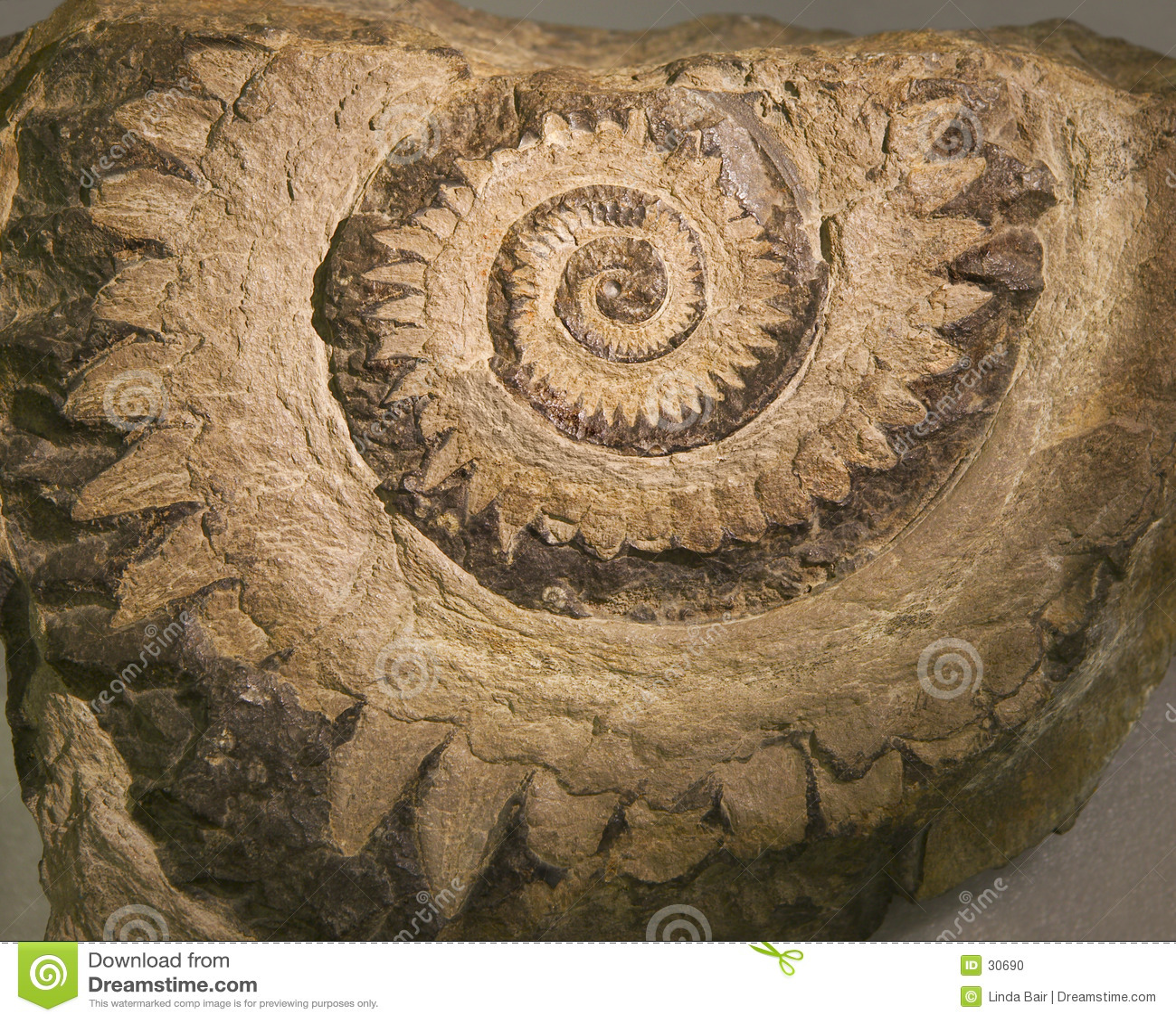 Fossil ?des Summens sah? Zahn-Haifisch