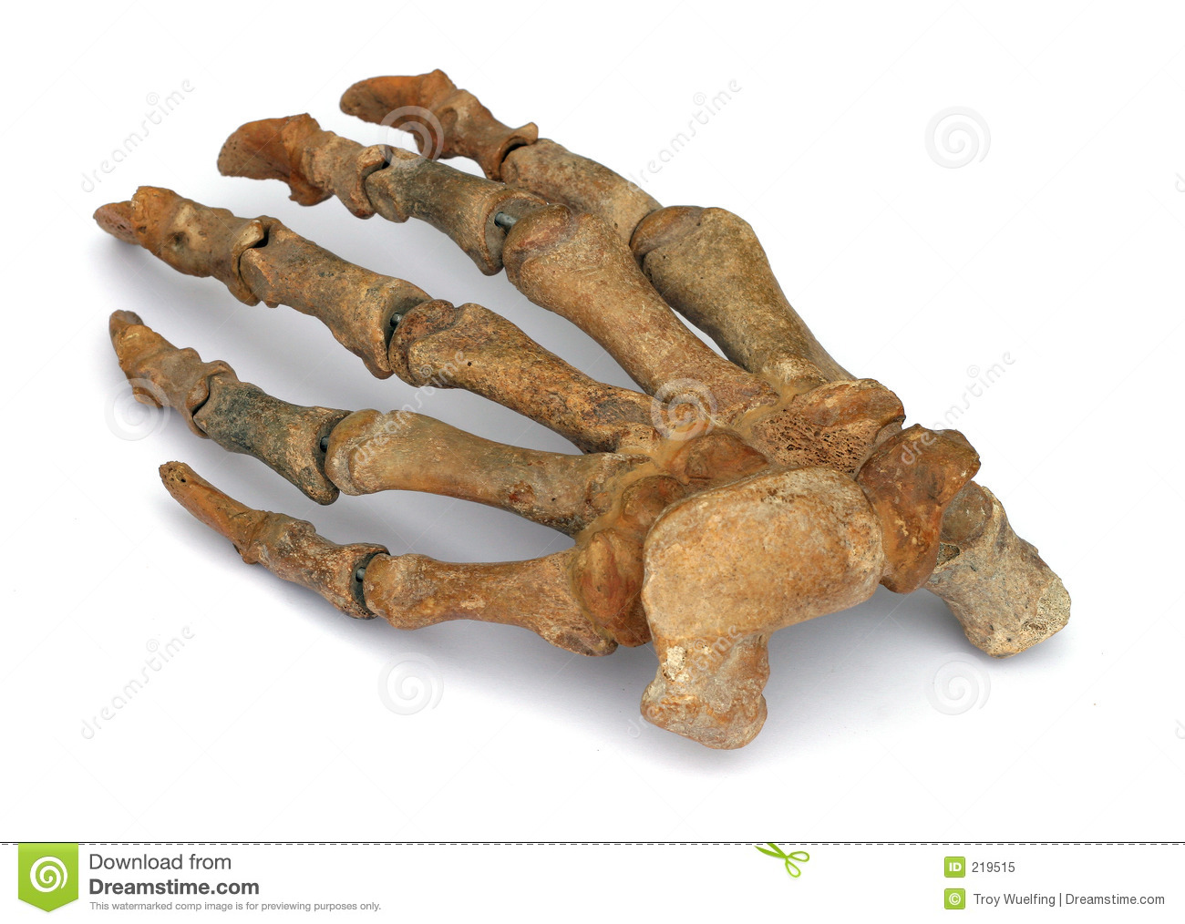 Fossil- hand