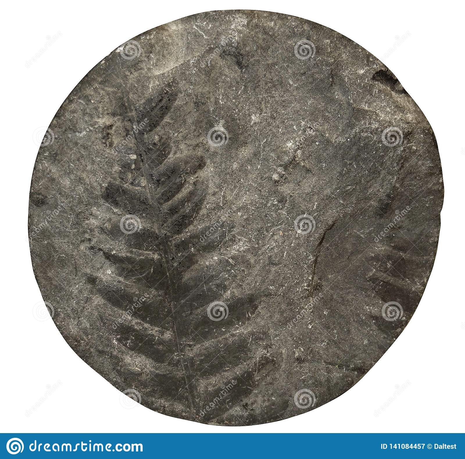 Fossil plant fern pattern on stone surface, drill core. Front view.