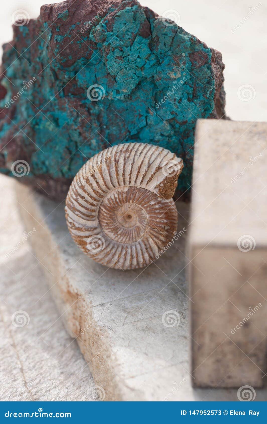 Fossile de coquillage de Nautilus et fond en pierre de Chrysocolla