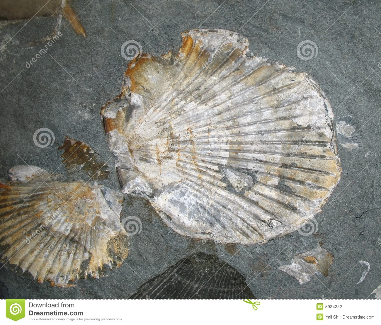 Fossilized Shells Stoc...