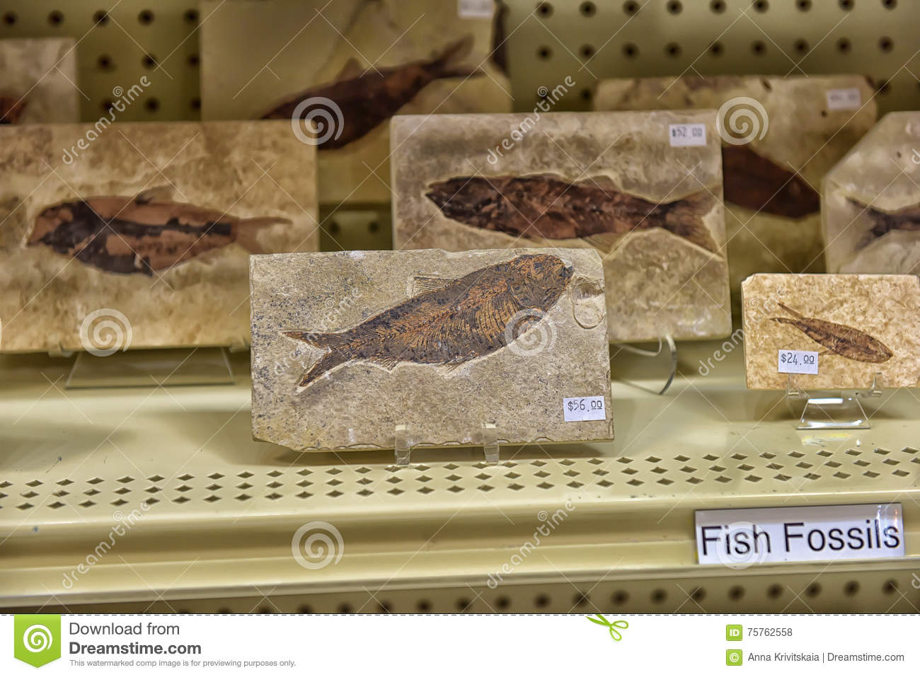 Fossils on sale editorial stock photo  Image of natural
