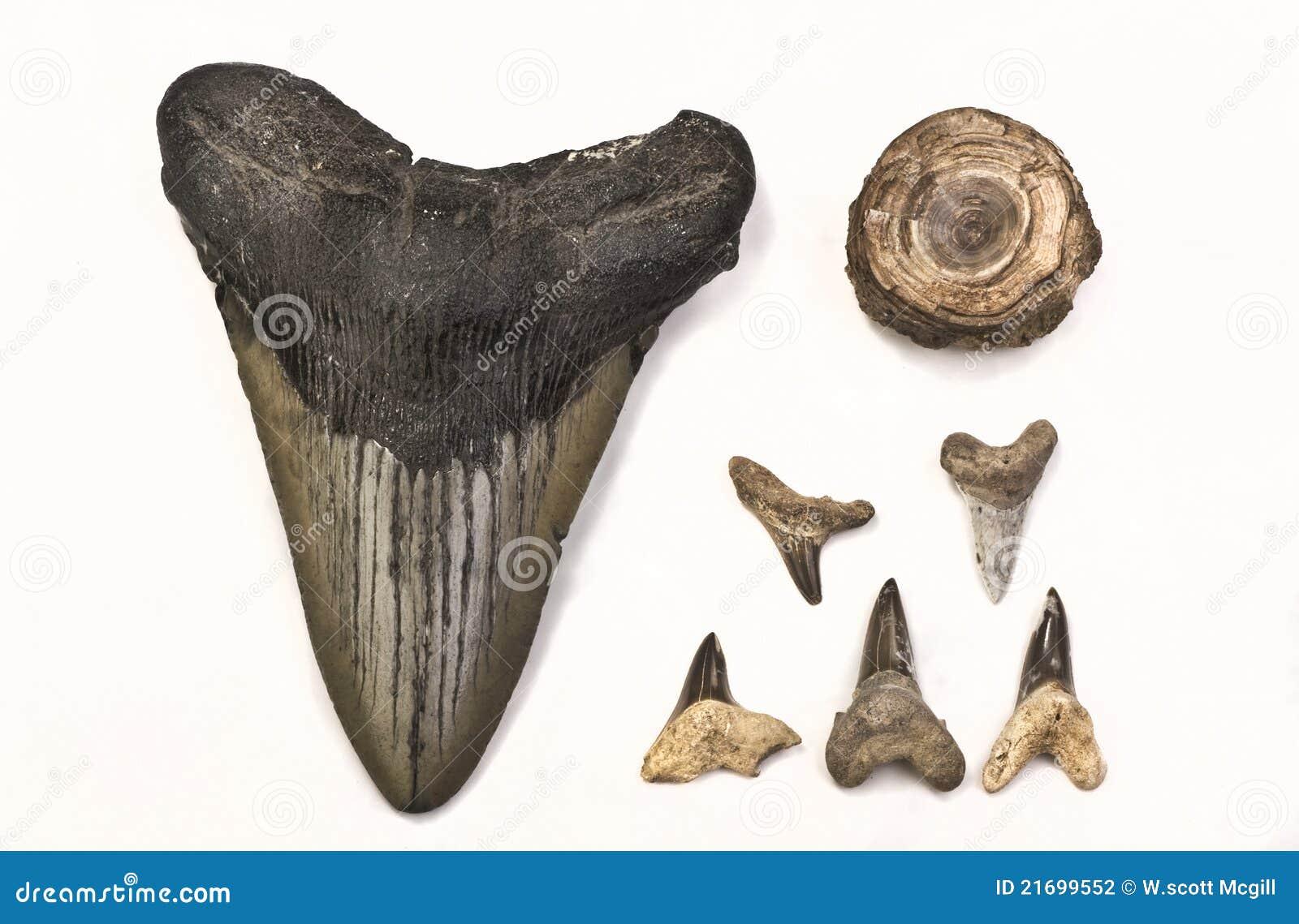 Fossils of Shark Teeth