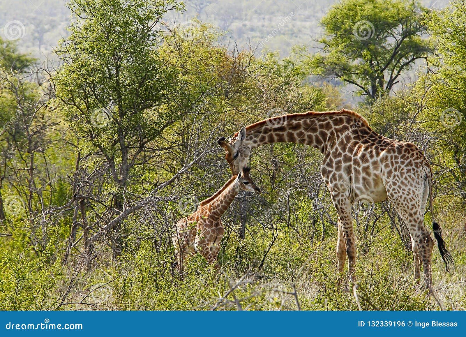 Fostra och behandla som ett barn giraffet i naturlig buske