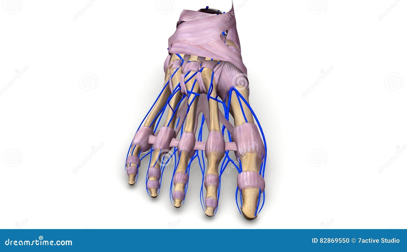 Fotben med ligament och föregående sikt för åder