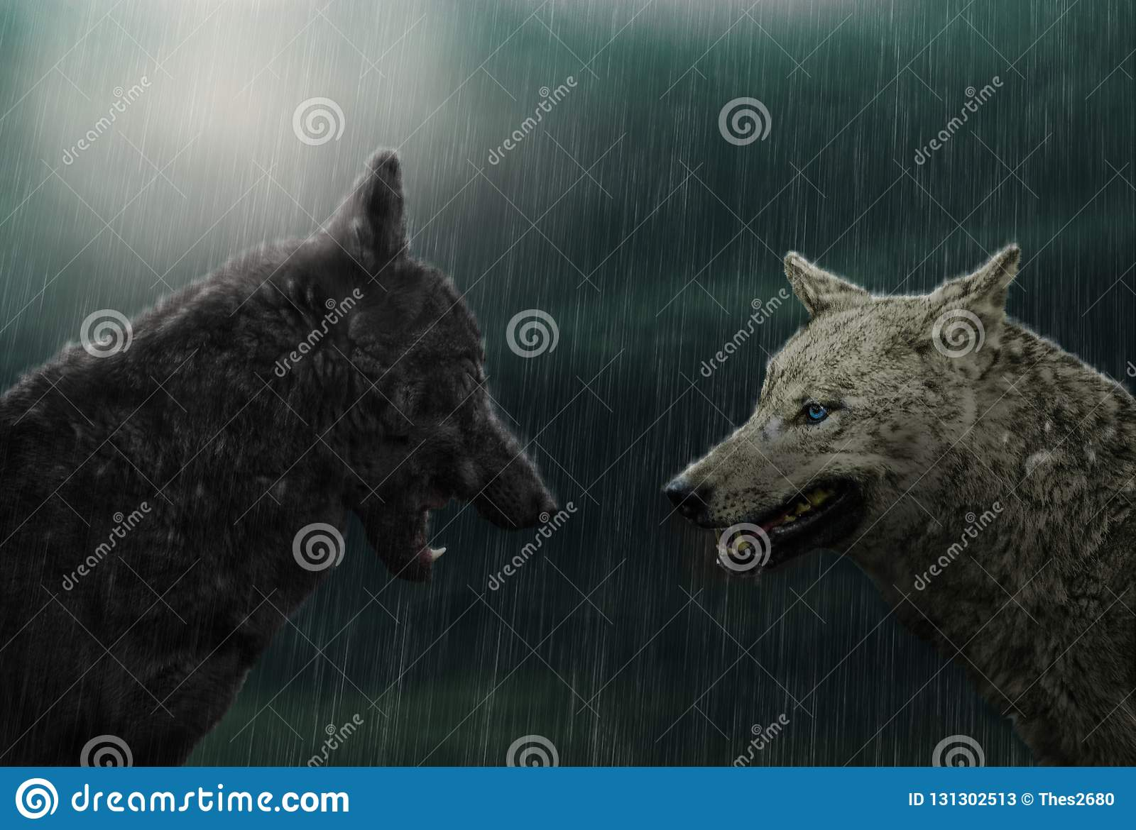 Two wolves in rain