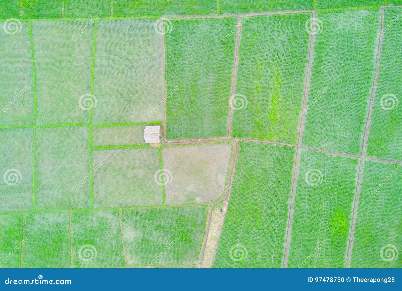 Foto aerea di vista superiore dal fuco di volo delle risaie verdi dentro