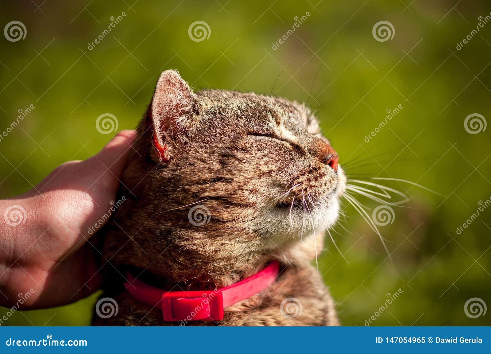 Foto alta vicina del gatto domestico soddisfatto che ? segnato con la mano su fondo verde vago